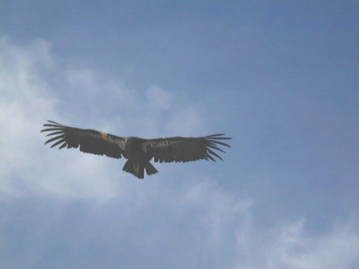 a discussion on the struggle for california condor In a remote, rugged valley overlooking the pacific ocean, researchers closely monitor an endangered icon: the california condor.