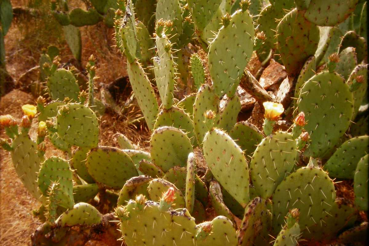 cassis fruit cactus fruit in spanish